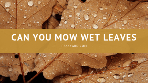 Can You Mow Wet Leaves?