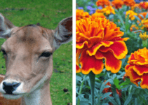 Deer Eat Marigolds
