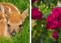 will Deer eat Roses