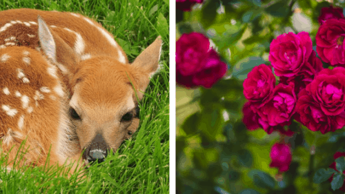 Do Deer Eat Roses?