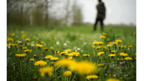 Best Dandelion Killers For Your Lawn