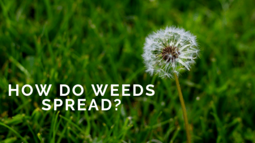 How Do Weeds Spread?