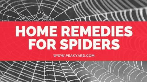 HOME REMEDIES FOR SPIDERS