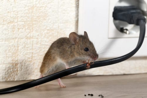 Does One Mouse Mean An Infestation?